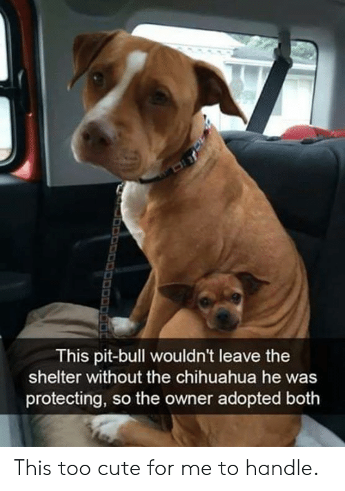 chihuahua: This pit-bull wouldn't leave the  shelter without the chihuahua he was  protecting, so the owner adopted both This too cute for me to handle.