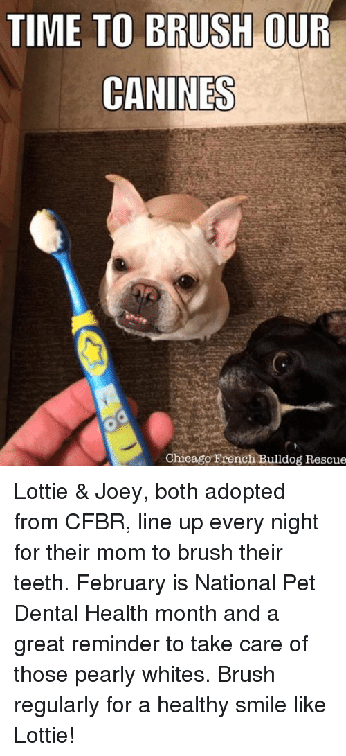 TIME TO BRUSH OUR CANINES Chicago French Bulldog Rescue