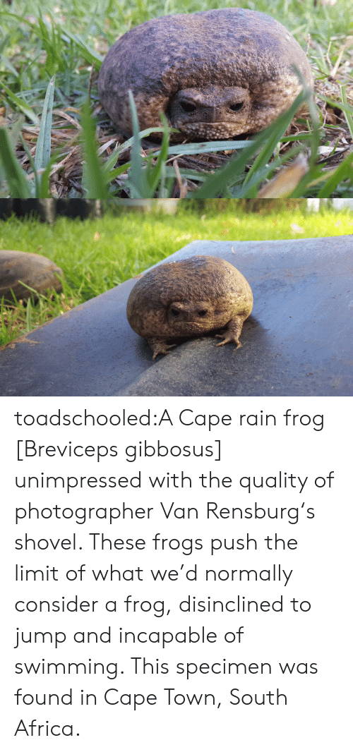 Africa, Target, and Tumblr: toadschooled:A Cape rain frog [Breviceps gibbosus] unimpressed with the quality of photographer VanRensburg's shovel. These frogs push the limit of what we'd normally consider a frog, disinclined to jump and incapable of swimming. This specimen was found in Cape Town, South Africa.