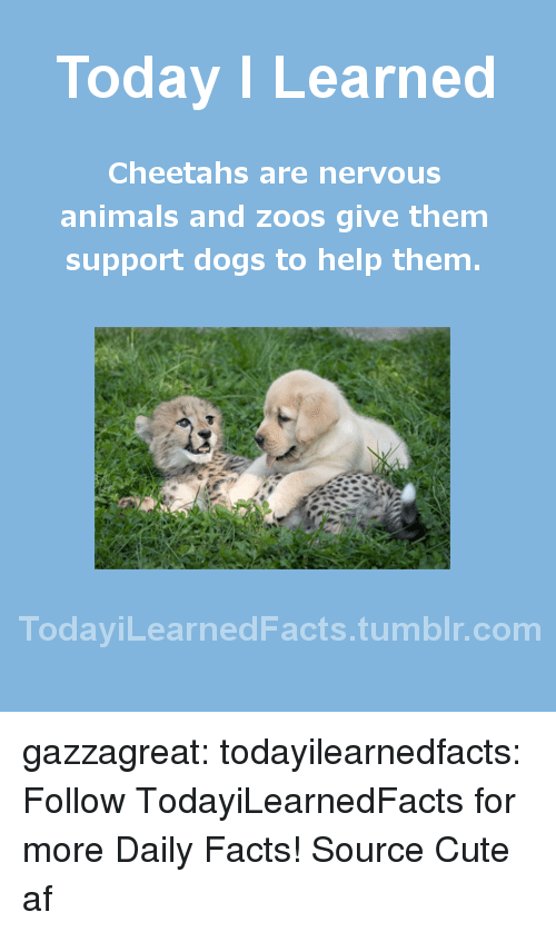 cheetahs: Today I Learned  Cheetahs are nervous  animals and zoos give them  support dogs to help them  TodaviLearned Facts.tumblr.com gazzagreat: todayilearnedfacts:   Follow TodayiLearnedFacts for more Daily Facts! Source   Cute af