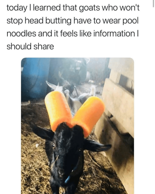 Wont Stop: today I learned that goats who won't  stop head butting have to wear pool  noodles and it feels like information l  should share