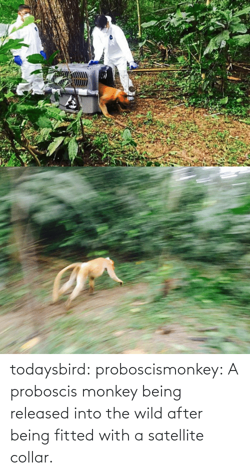 satellite: todaysbird:  proboscismonkey:  A proboscis monkey being released into the wild after being fitted with a satellite collar.