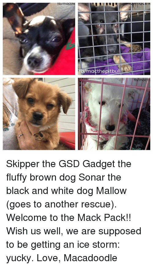 gsd: Tp/maCtni  Tb/macthepitbul  fb/macth Skipper the GSD Gadget the fluffy brown dog Sonar the black and white dog Mallow (goes to another rescue).   Welcome to the Mack Pack!!  Wish us well, we are supposed to be getting an ice storm: yucky.   Love, Macadoodle