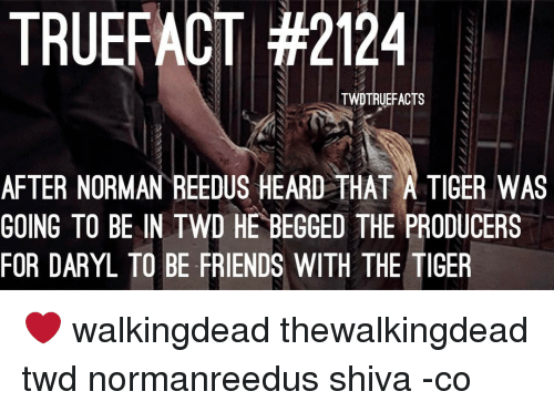 Producive: TRUEFACT #2124  TWDTRUEFACTS  AFTER NORMAN REEDUS HEARD THAT A TIGER WAS  GOING TO BE IN TWD HE BEGGED THE PRODUCERS  FOR DARYL TO BE FRIENDS WITH THE TIGER ❤ walkingdead thewalkingdead twd normanreedus shiva -co