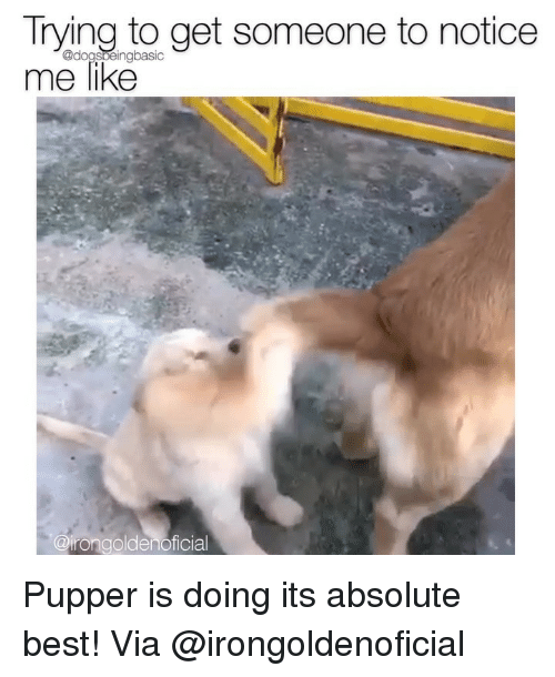 Memes, Best, and 🤖: Trying to get someone to notice  me like  @dogsbeingbasic  @irongoldenoficial Pupper is doing its absolute best! Via @irongoldenoficial