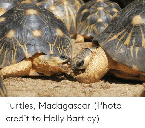 turtles: Turtles, Madagascar (Photo credit to Holly Bartley)