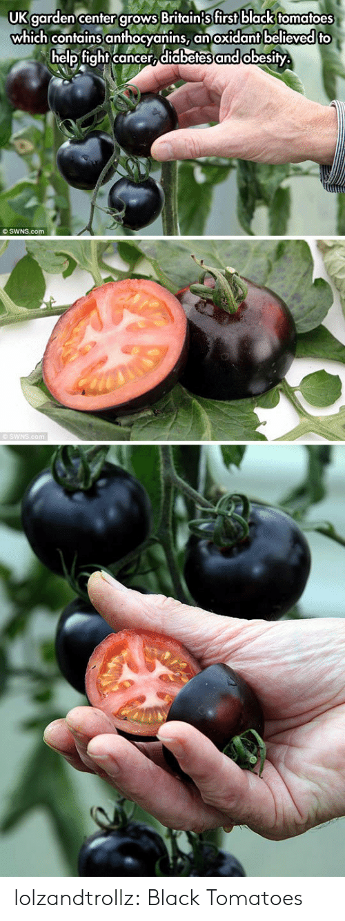 Diabetes: UK garden center grows Britain{s first black tomatoes  which contains anthocyanins,  help fight cancer, diabetes and obesity  an oxidant believed to  O SWNS.com  SWNS.com lolzandtrollz:  Black Tomatoes
