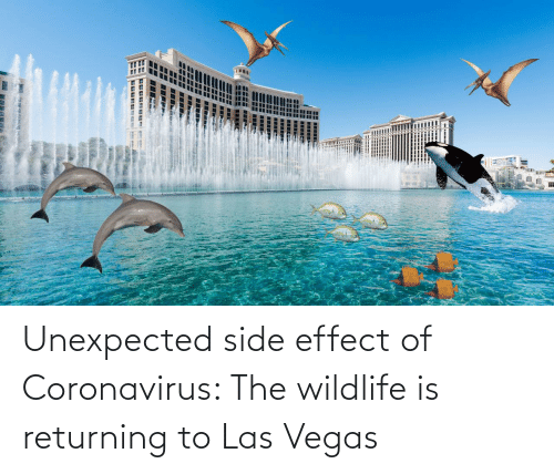 las: Unexpected side effect of Coronavirus: The wildlife is returning to Las Vegas