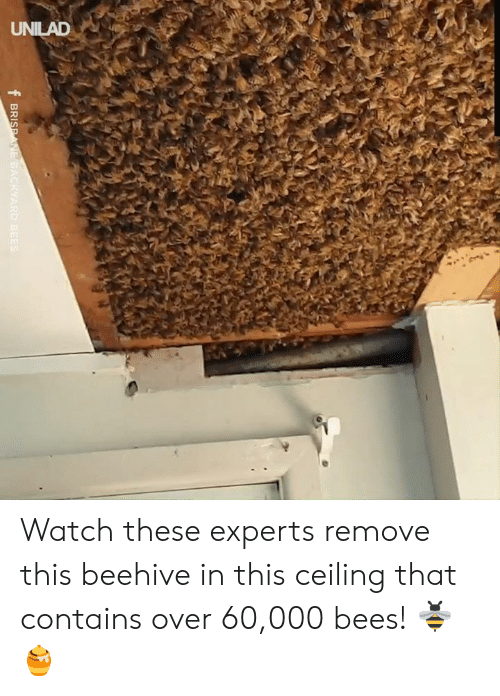 Experts: UNILAD  f BRISPANE BACKYARD BEES Watch these experts remove this beehive in this ceiling that contains over 60,000 bees! 🐝🍯