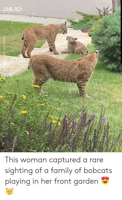 Dank, Family, and 🤖: UNILAD-  JULIE KYLIUK This woman captured a rare sighting of a family of bobcats playing in her front garden 😍🐱