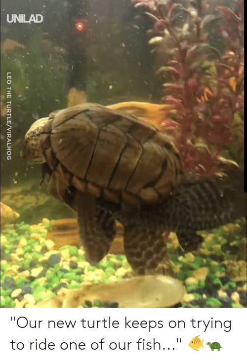 "Dank, Fish, and Turtle: UNILAD  LEO THE TURTLE/VIRALHOG ""Our new turtle keeps on trying to ride one of our fish..."" 🐠🐢"