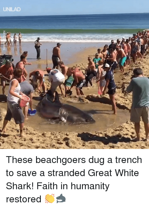 Dank, Shark, and White: UNILAD These beachgoers dug a trench to save a stranded Great White Shark! Faith in humanity restored 👏🦈