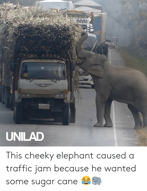 Dank, Traffic, and Elephant: UNILAD This cheeky elephant caused a traffic jam because he wanted some sugar cane 😂🐘