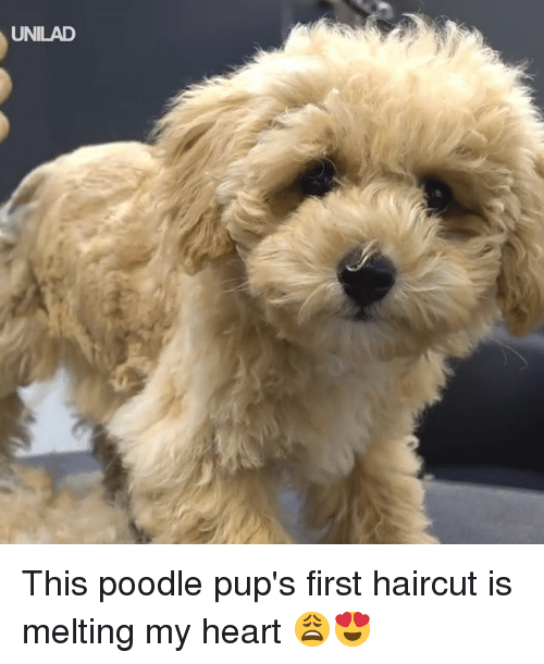 poodle: UNILAD This poodle pup's first haircut is melting my heart 😩😍
