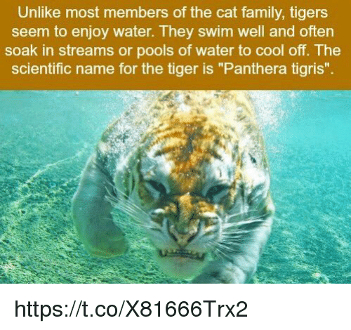 "cooling-off: Unlike most members of the cat family, tigers  seem to enjoy water. They swim well and often  soak in streams or pools of water to cool off. The  scientific name for the tiger is ""Panthera tigris"". https://t.co/X81666Trx2"