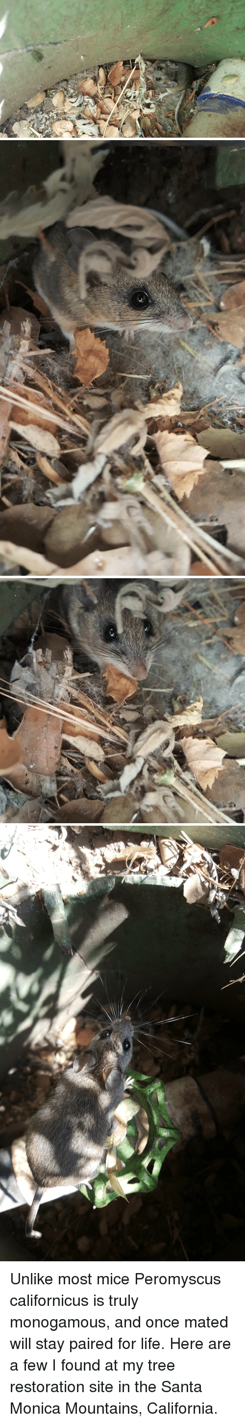 Life, California, and Mouse: Unlike most mice Peromyscus californicus is truly monogamous, and once mated will stay paired for life. Here are a few I found at my tree restoration site in the Santa Monica Mountains, California.