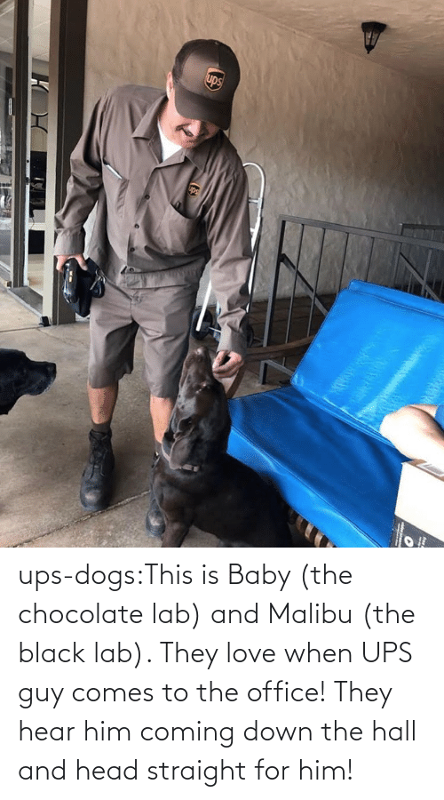 Office: ups-dogs:This is Baby (the chocolate lab) and Malibu (the black lab). They love when UPS guy comes to the office! They hear him coming down the hall and head straight for him!