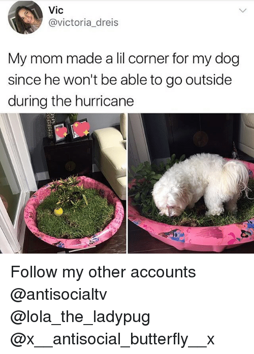 lolas: Vic  @victoria_dreis  My mom made a lil corner for my dog  since he won't be able to go outside  during the hurricane Follow my other accounts @antisocialtv @lola_the_ladypug @x__antisocial_butterfly__x