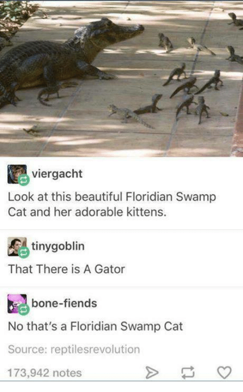 Beautiful, Kittens, and Humans of Tumblr: viergacht  Look at this beautiful Floridian Swamp  Cat and her adorable kittens.  tinygoblin  That There is A Gator  bone-fiends  No that's a Floridian Swamp Cat  Source: reptilesrevolution  173,942 notes
