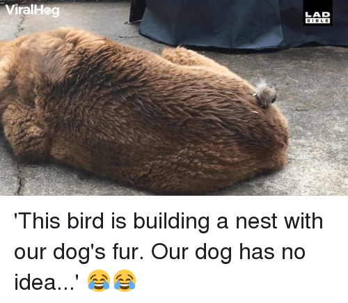Dank, Dogs, and Nest: ViralHeg  LAD  BIBL E 'This bird is building a nest with our dog's fur. Our dog has no idea...' 😂😂