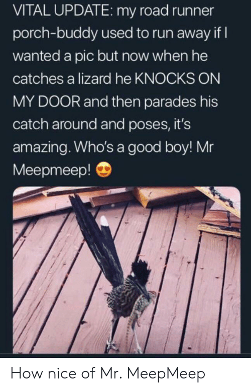 Run, Good, and Amazing: VITAL UPDATE: my road runner  porch-buddy used to run away if  wanted a pic but now when he  catches a lizard he KNOCKS ON  MY DOOR and then parades his  catch around and poses, it's  amazing. Who's a good boy! Mr  Meepmeep! How nice of Mr. MeepMeep