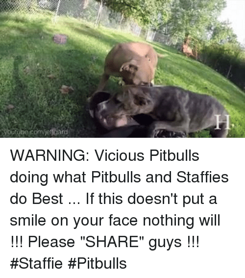 "Memes, Pitbull, and Best: WARNING: Vicious Pitbulls doing what Pitbulls and Staffies do Best ... If this doesn't put a smile on your face nothing will !!! Please ""SHARE"" guys 【ツ】!!! #Staffie #Pitbulls"