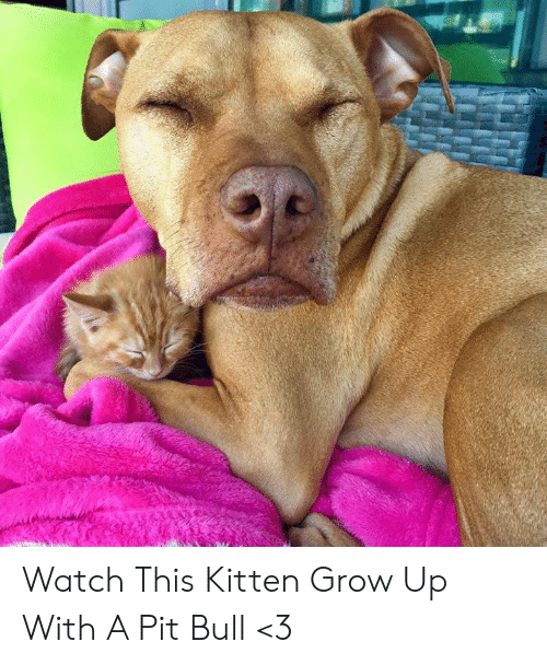 pit bull: Watch This Kitten Grow Up With A Pit Bull <3