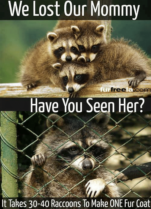 Have You Seen Her, Memes, and Lost: We Lost Our Mommy  Have You Seen Her?  It Takes 30-40 Raccoons To Make ONE Fur Coat