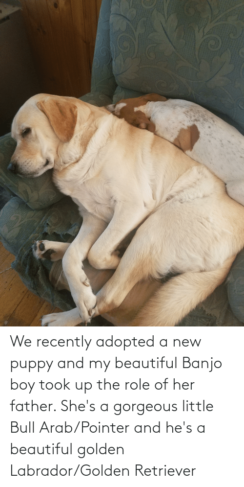 Arab: We recently adopted a new puppy and my beautiful Banjo boy took up the role of her father. She's a gorgeous little Bull Arab/Pointer and he's a beautiful golden Labrador/Golden Retriever