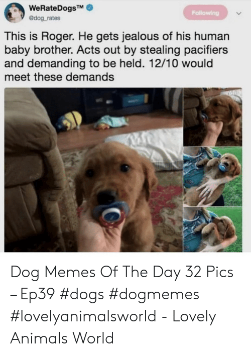 human baby: WeRateDogsTM  @dog rates  Following  This is Roger. He gets jealous of his human  baby brother. Acts out by stealing pacifiers  and demanding to be held. 12/10 would  meet these demands Dog Memes Of The Day 32 Pics – Ep39 #dogs #dogmemes #lovelyanimalsworld - Lovely Animals World