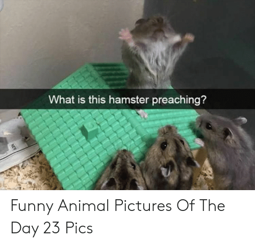 Funny, Animal, and Hamster: What is this hamster preaching?  NEW Funny Animal Pictures Of The Day 23 Pics