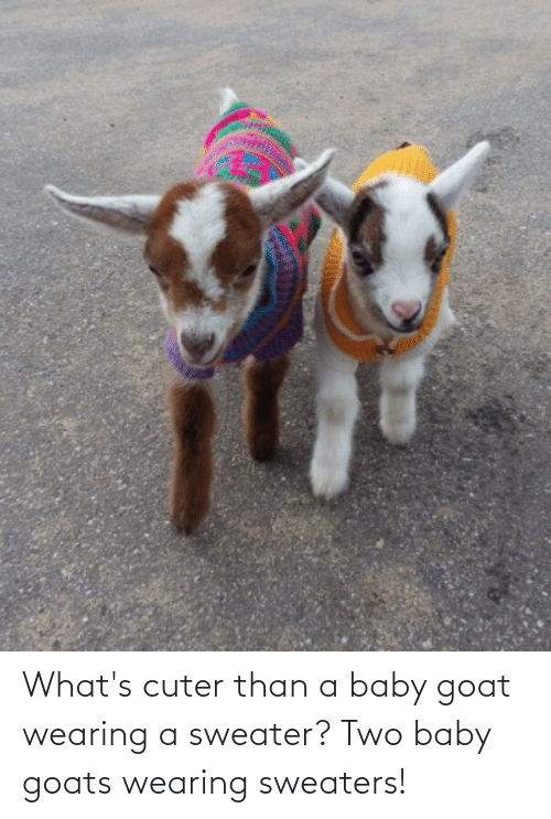 sweaters: What's cuter than a baby goat wearing a sweater? Two baby goats wearing sweaters!