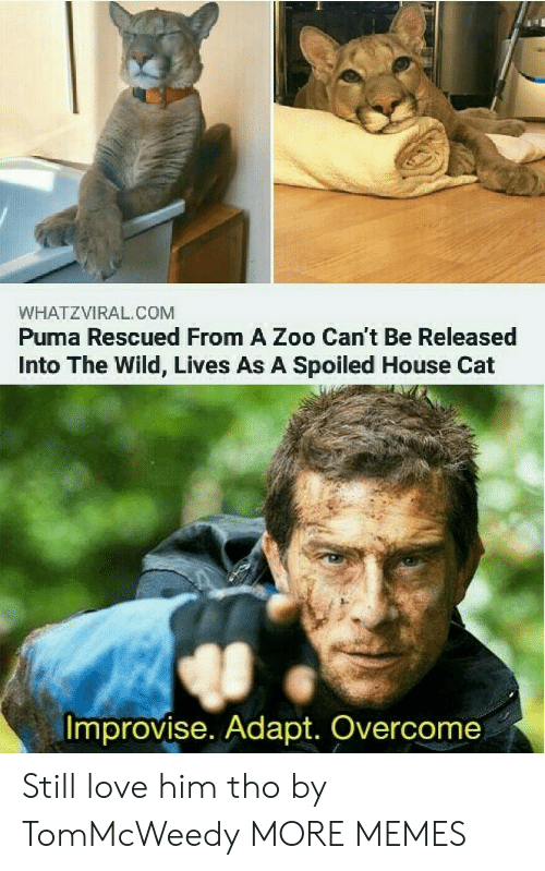 Puma: WHATZVIRAL.COM  Puma Rescued From A Zoo Can't Be Released  Into The Wild, Lives As A Spoiled House Cat  Improvise. Adapt. Overcome Still love him tho by TomMcWeedy MORE MEMES
