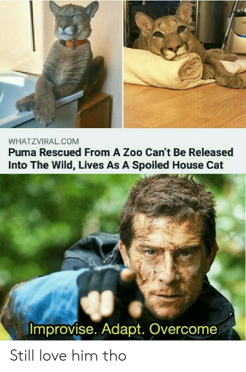 Puma: WHATZVIRAL.COM  Puma Rescued From A Zoo Can't Be Released  Into The Wild, Lives As A Spoiled House Cat  Improvise. Adapt. Overcome Still love him tho