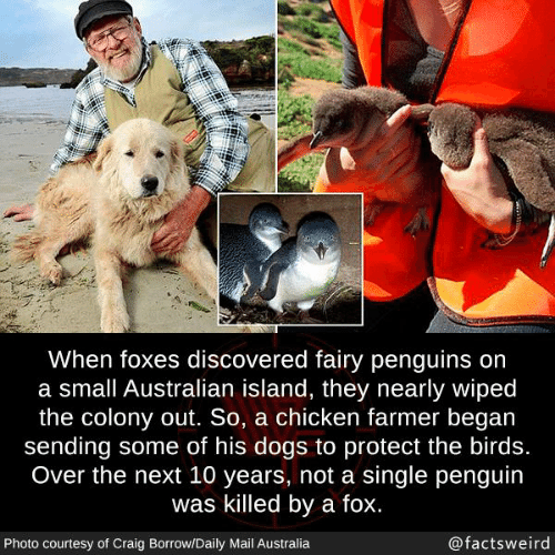 Daily Mail: When foxes discovered fairy penguins on  a small Australian island, they nearly wiped  the colony out. So, a chicken farmer began  sending some of his dogs to protect the birds.  Over the next 10 years, not a single penguin  was killed by a fox.  Photo courtesy of Craig Borrow/Daily Mail Australia  @factsweird