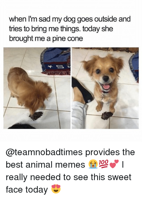 Best Animal Memes: when I'm sad my dog goes outside and  tries to bring me things. today she  brought me a pine cone @teamnobadtimes provides the best animal memes 😭💯💕 I really needed to see this sweet face today 😍