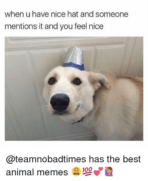 Best Animal Memes: when u have nice hat and someone  mentions it and you feel nice @teamnobadtimes has the best animal memes 😩💯💕🙋🏽♀️