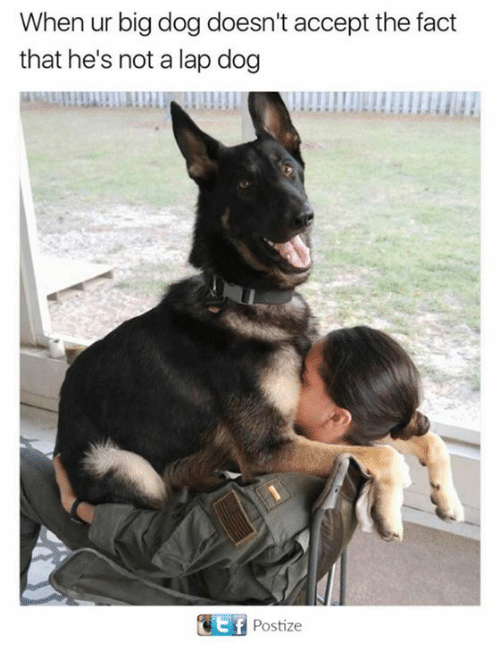 big dog: When ur big dog doesn't accept the fact  that he's not a lap dog  Ttf Postize