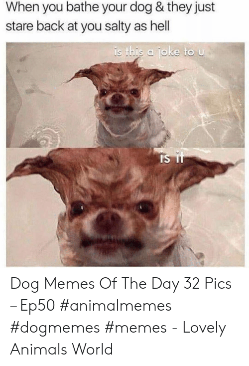 Bathe: When you bathe your dog & they just  stare back at you salty as hell  is this a joke to u Dog Memes Of The Day 32 Pics – Ep50 #animalmemes #dogmemes #memes - Lovely Animals World