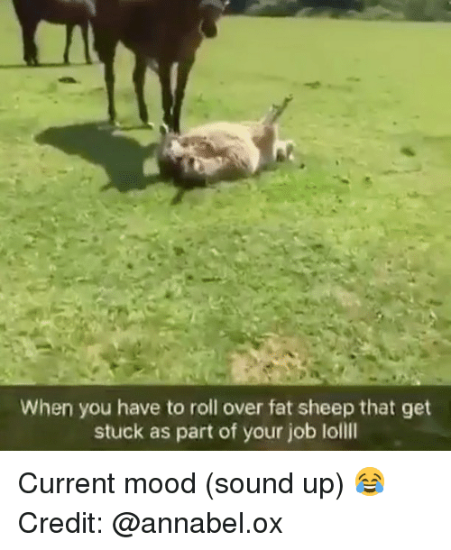 loll: When you have to roll over fat sheep that get  stuck as part of your job loll Current mood (sound up) 😂 Credit: @annabel.ox