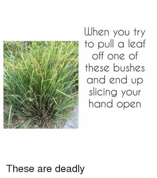 Memes, 🤖, and Leaf: When you try  to oull a leaf  off one of  these bushes  and end up  Slicing your  hand open These are deadly