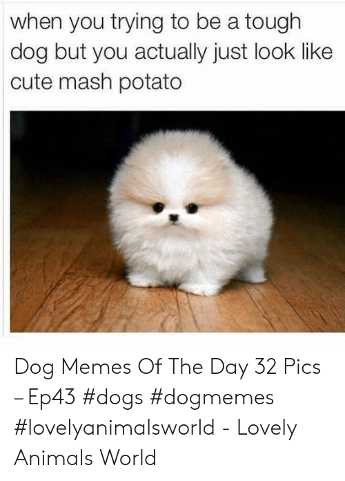 Animals, Cute, and Dogs: when you trying to be a tough  dog but you actually just look like  cute mash potato Dog Memes Of The Day 32 Pics – Ep43 #dogs #dogmemes #lovelyanimalsworld - Lovely Animals World