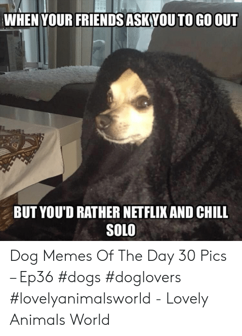 Netflix and chill: WHEN YOUR FRIENDS ASKVOU TO GO OUT  BUT YOU'D RATHER NETFLIX AND CHILL  SOLO Dog Memes Of The Day 30 Pics – Ep36 #dogs #doglovers #lovelyanimalsworld - Lovely Animals World