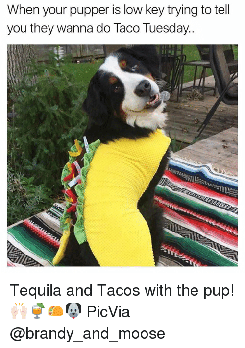taco tuesday: When your pupper is low key trying to tell  you they wanna do Taco Tuesday. Tequila and Tacos with the pup!🙌🏻🍹🌮🐶 PicVia @brandy_and_moose