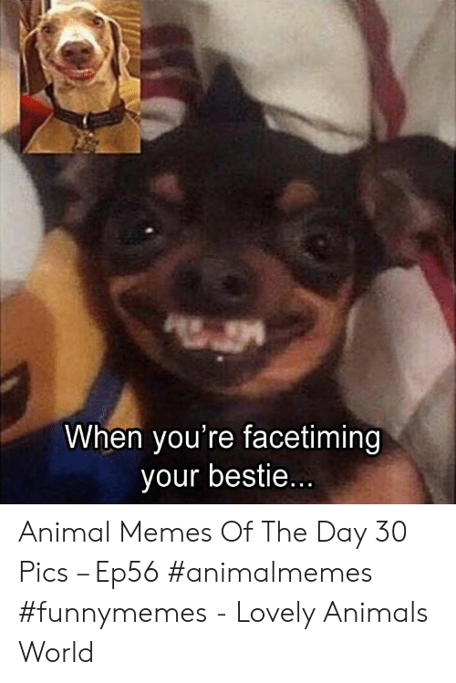 Animal Memes: When you're facetiming  your bestie... Animal Memes Of The Day 30 Pics – Ep56 #animalmemes #funnymemes - Lovely Animals World