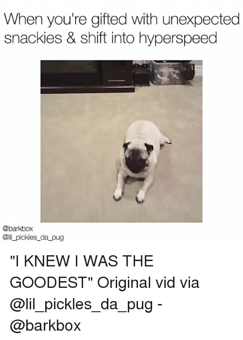"""Pugged: When you're gifted with unexpected  snackies & shift into hyperspeed  @barkbox  @il_pickles_da pug """"I KNEW I WAS THE GOODEST"""" Original vid via @lil_pickles_da_pug - @barkbox"""
