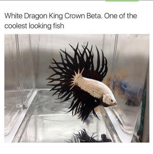 Memes, Fish, and White: White Dragon King Crown Beta. One of the  coolest looking fish
