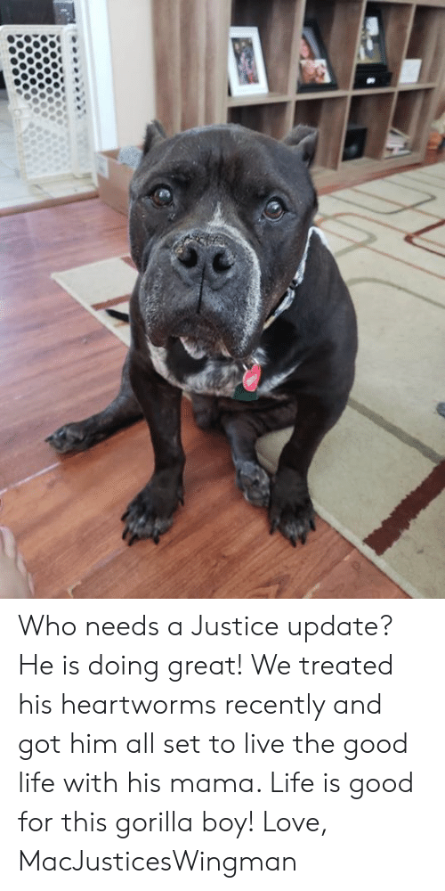 Life, Love, and Memes: Who needs a Justice update? He is doing great! We treated his heartworms recently and got him all set to live the good life with his mama. Life is good for this gorilla boy!   Love, MacJusticesWingman