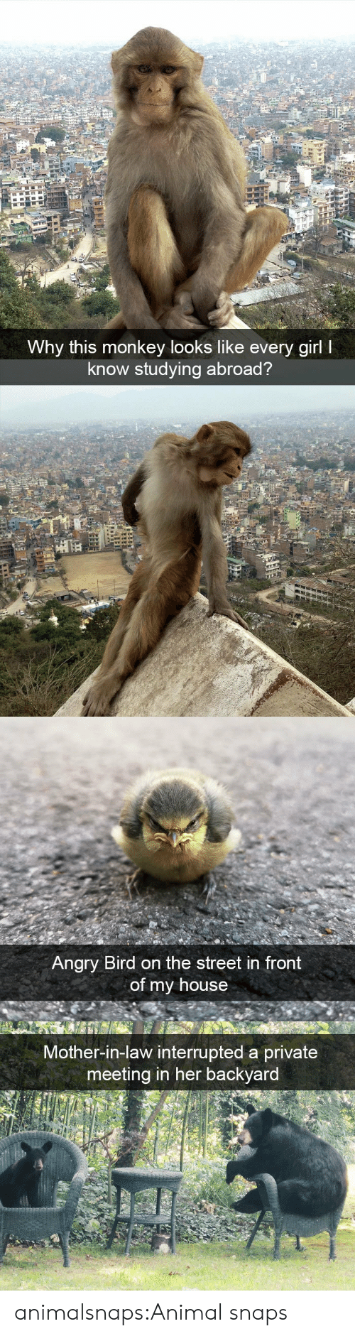 In Law: Why this monkey looks like every girl I  know studying abroad?   Angry Bird on the street in front  of my house   Mother-in-law interrupted a private  meeting in her backyard animalsnaps:Animal snaps