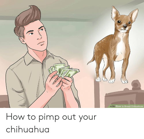 Chihuahua, How To, and Wiki: wiki How to Breed Chihuahuas How to pimp out your chihuahua